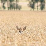 Bockhaupt im Getreide