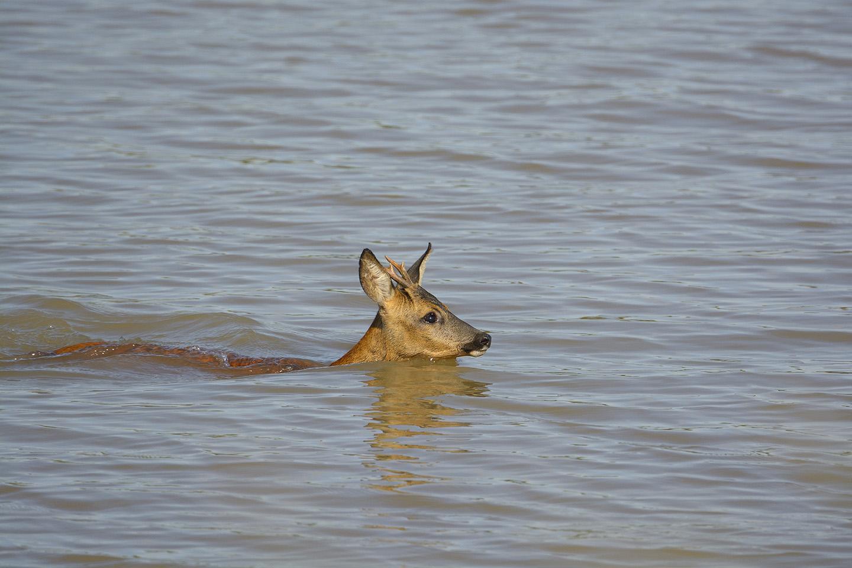 Reh im Wasser