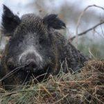 Neben Schwarzwild sind auch Wölfe überträger von Schweinepest