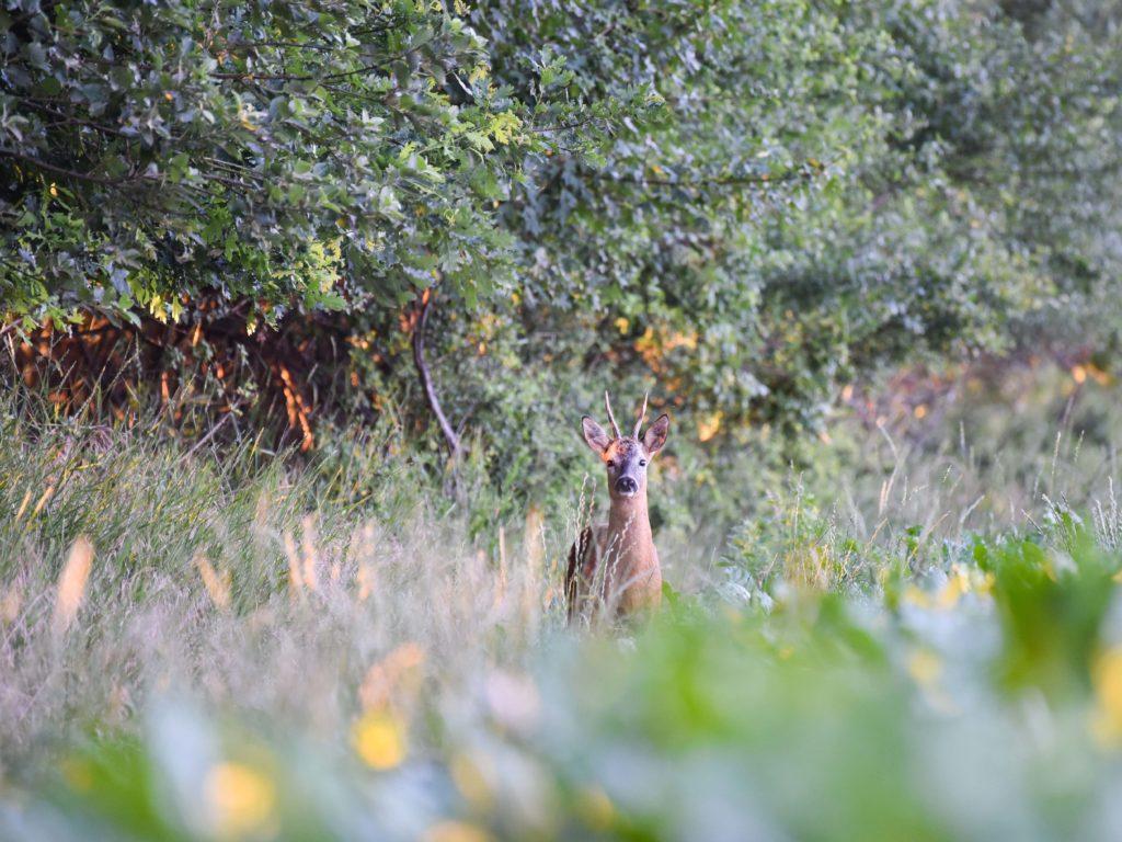 Ein Rehbock zwischen Wald und Feld (Quelle: Sebastian Kapuhs)